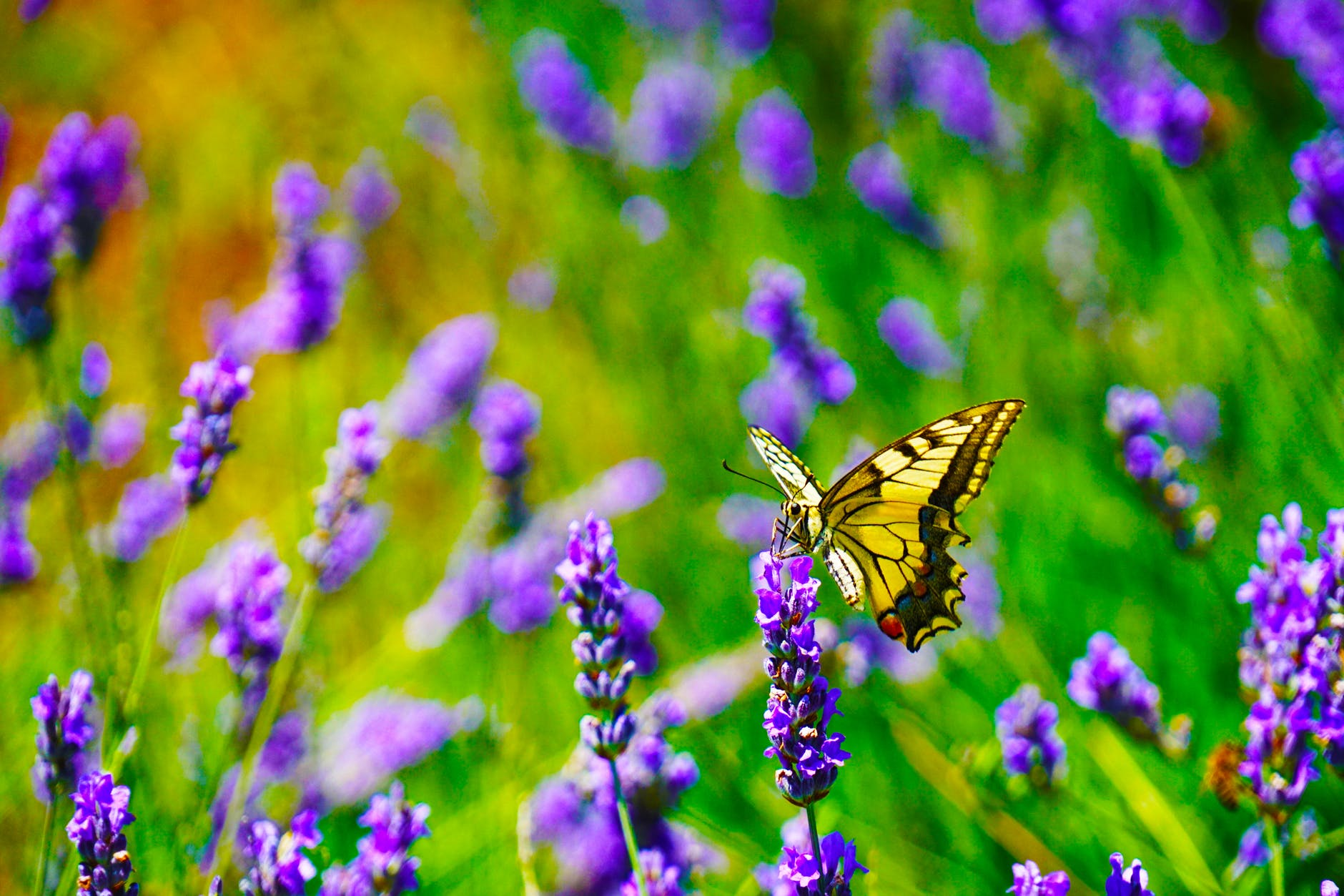 selective focus photography of tiger swallowtail butterfly perched on lavender flower